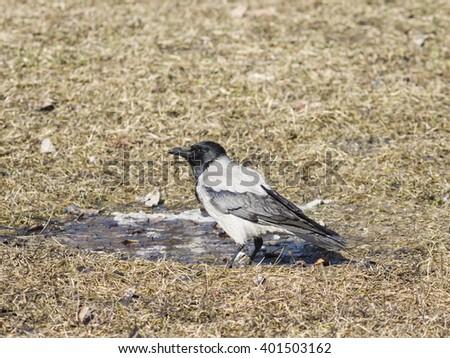 Hooded Crow, Corvus cornix, portrait on dry grass early spring closeup, selective focus, shallow DOF - stock photo