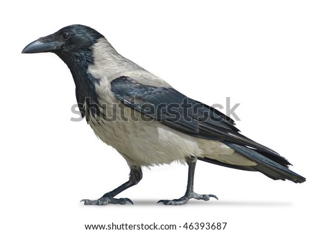 Hooded crow isolated on white background