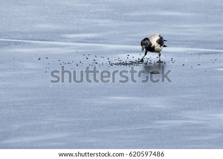 Hooded crow looking for food on ice of frozen lake.
