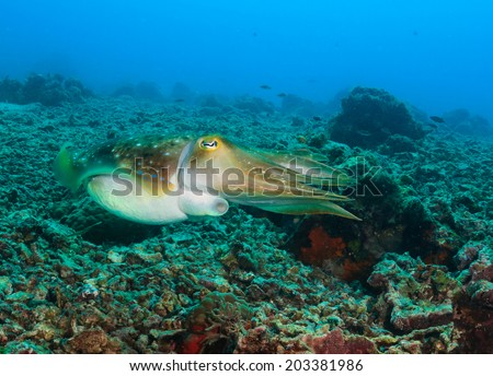 Hooded Cuttlefish swimming over a broken coral sea bed