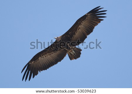 Hooded Vulture flying over Kololi Beach, The Gambia, Africa - stock photo