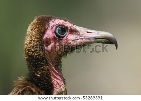 Hooded Vulture in The Gambia, Africa - stock photo