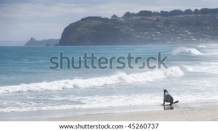 Hooker's Sea Lion on St Kilda Beach, New Zealand - stock photo