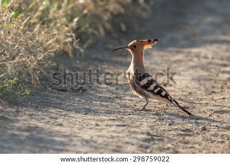 hoopoe bird - stock photo