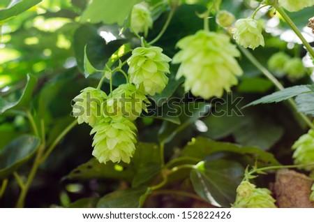 Hop branch in a garden - stock photo