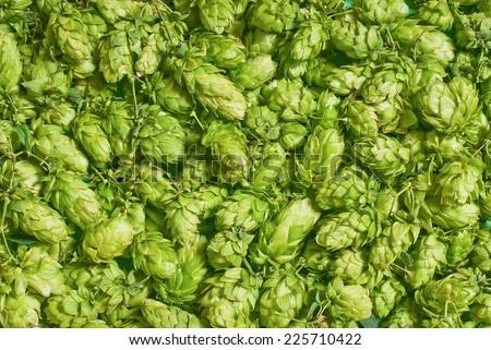 hop cones - stock photo