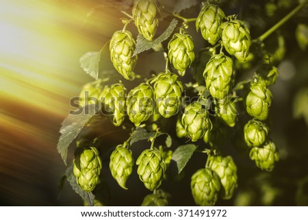 Hop cones illuminated by the sun rays. Organic raw ingredients for beer production. - stock photo