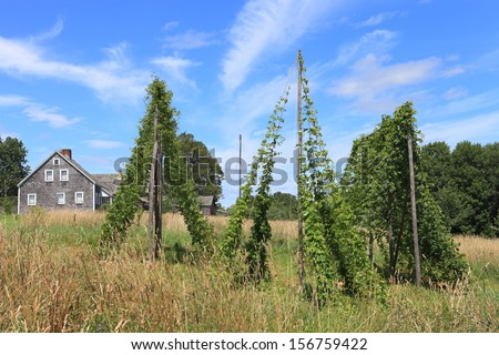 Hop vines growing on pole trelisses - stock photo