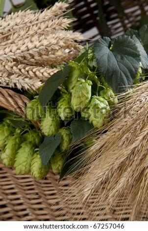 hopcones with wheats - stock photo