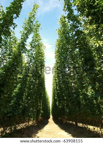 hops growing - stock photo