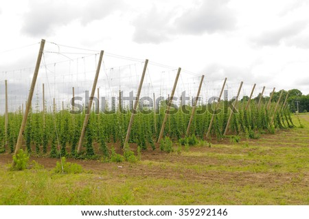 Hops growing on trellised vines in Southern Michigan - stock photo