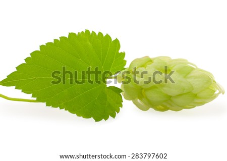 Hops plant with leaf, isolated on white. - stock photo
