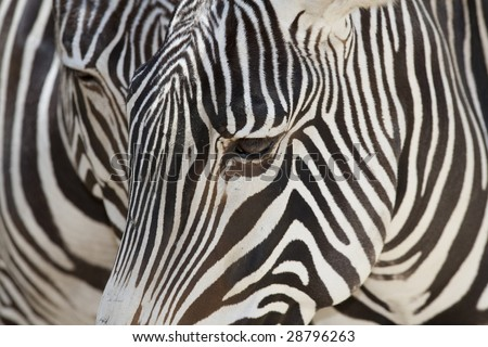 Horizontal close up image of a Grevy's zebra face. - stock photo