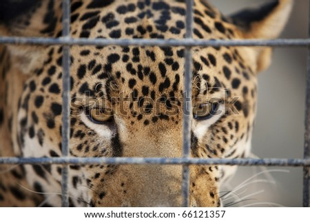 Horizontal close-up image of a jaguar behind a security fence in a zoo. - stock photo