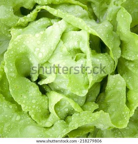 horizontal closeup of fresh wet lettuce in garden - stock photo