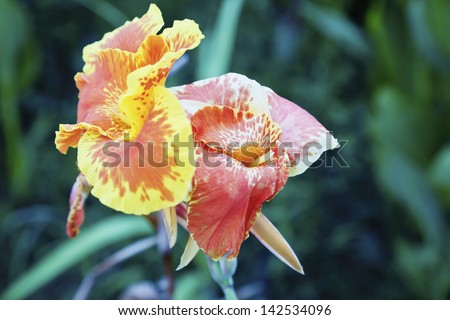 horizontal color landscape of flora from the tropics, multi colors of a orange yellow red and white fluted hibiscus in full bloom with dark green foliage. Shot location was a garden in Bombay India - stock photo