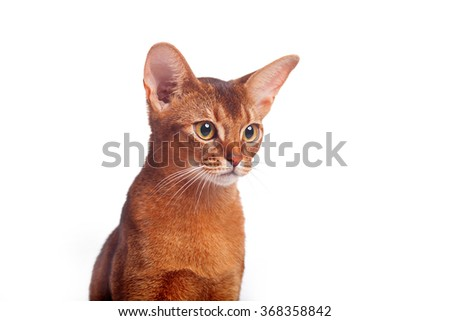 Horizontal facial close-up portrait of one domestic cat of Abyssinian breed with yellow eyes and red short hair sitting on isolated background - stock photo