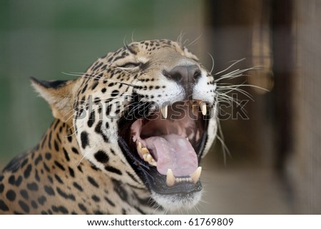Horizontal image of a jaguar with it's mouth open. - stock photo