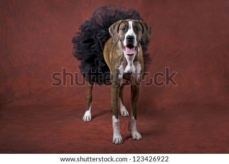 Horizontal image of a mixed boxer dog wearing a black tutu on a rust-orange background as a Halloween animal theme.