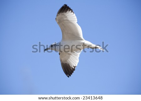 Horizontal image of a seagull (herring gull) from the side