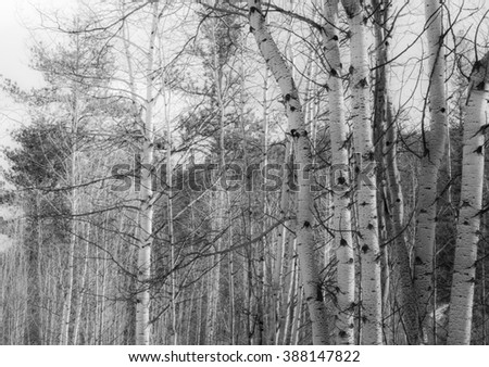 horizontal orientation black and white image of a grove of Aspen trees in the Rocky Mountains in Winter Season /  Aspen Grove Serenity in black and white - stock photo
