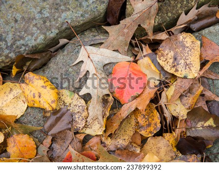 horizontal orientation close up of oak and other leaves against a rock border outside, with copy space / Fall Leaves and Rock - Horizontal - stock photo