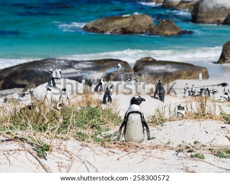 Horizontal photo of a colony of African penguins, known also as jackass penguins or black-footed penguins, on Boulders beach in Simon's Town, South Africa, in February. One penguin in focus. - stock photo