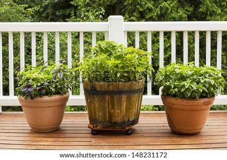 Horizontal photo of a home herb garden consisting of large flat leaf Italian basil plants growing in pots on cedar deck with white railings and trees in background - stock photo
