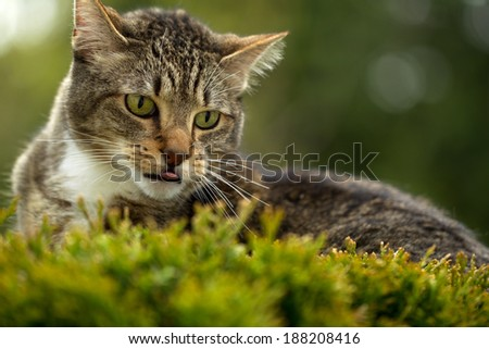 Horizontal photo of cat face, with tongue sticking out, outdoors on top of evergreen bush and blurred out trees in background