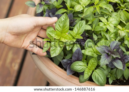 Horizontal photo of female holding fresh large Italian basil with pot and cedar in deck in background  - stock photo