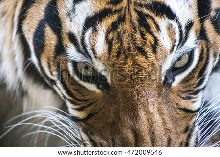 horizontal photo of tiger with an amazing eyes