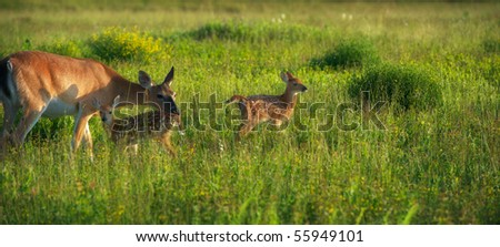 Horizontal photo of whitetail doe with twin fawns
