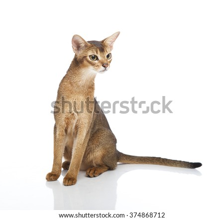 Horizontal portrait of one cat of Abissinian  breed sitting on isolated background