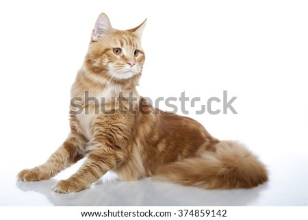 Horizontal portrait of one cat of Maine coon breed with red coat lying on isolated background