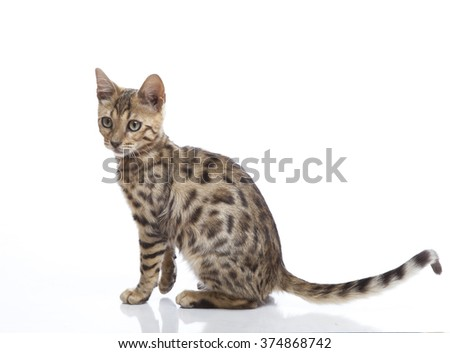 Horizontal portrait of one kitten of Bengal cat breed sitting on isolated background