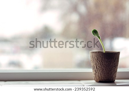 horizontal pumpkin Plant seedling in window  - stock photo