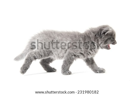 Horizontal shot of a grey kitten meowing and walking along the white background