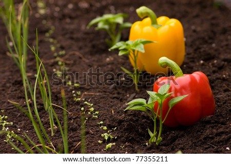 Horizontal shot of red and yellow Capsicum Annuum small plants with the peppers behind instead of labels. Urban gardening concept, shallow depth of field, focus on the plant. - stock photo