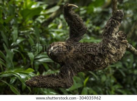 Horizontal Three-toed Sloth - stock photo