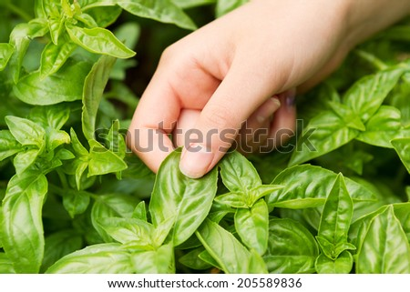 Horizontal view of female hand holding fresh large leaf basil with herb garden in background  - stock photo