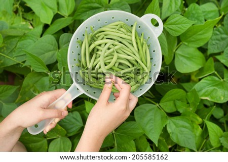 Horizontal view of female hands holding freshly picked green beans within plastic container and bean garden in background  - stock photo