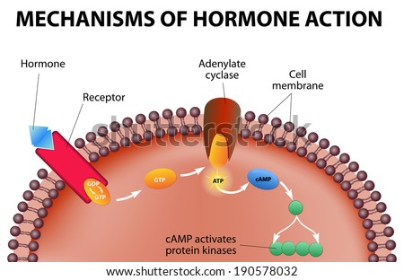 Hormones bind to receptors on the plasma membrane. The hormone itself is the first messenger. Binding to the receptors activates a second messenger inside the cell. - stock photo