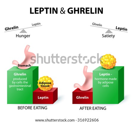 Hormones regulating appetite. Leptin the satiety hormone. Ghrelin the hunger hormone. When ghrelin levels are high, we feel hungry. After we eat, ghrelin levels fall and we feel satisfied. - stock photo