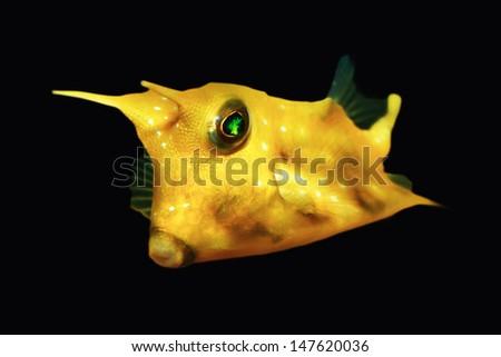 Horn Box fish isolated on Black - stock photo