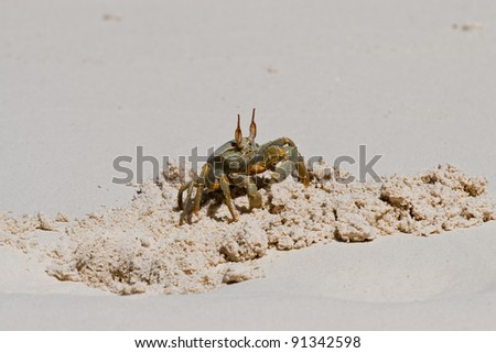 Horn-eyed Ghost Crab (Ocypode ceratophthalma) on beach on Direction Island Cocos (Keeling) Islands, Australia