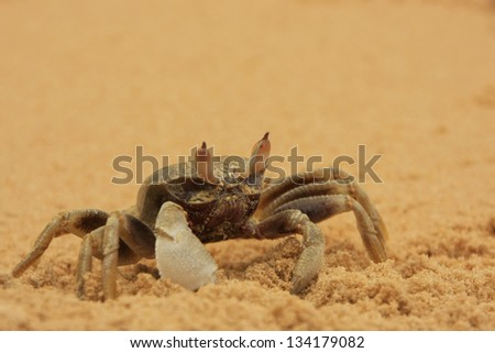 Horn-eyed ghost crab (Ocypode ceratophthalmus) on a beach