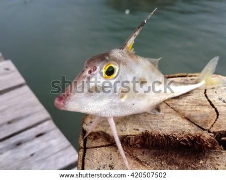 Horn fish/Tripod fish/lovely fish nature background/closeup at beautiful fish eye/tropical rare fish / life at fishing bridge /strange fish/innocent fish acting/fish standing on wood  - stock photo