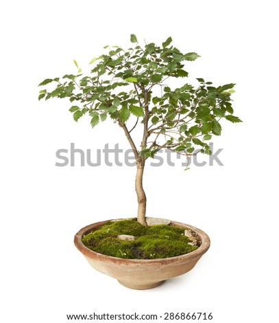 Hornbeam bonsai isolated on white background with clipping path - stock photo