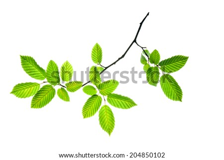 Hornbeam twig with translucent toothed leaves isolated on white    - stock photo