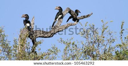 Hornbill, Trumpeter, Bycanistes bucinator - stock photo